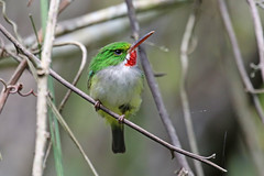 Puerto Rican Tody - Todus mexicanus (Roger Wasley) Tags: puerto rican tody todus mexicanus rico west indies caribbean wild birds endemic greater antilles