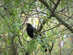 IMG_7286_Fotor01 (Ela's Zeichnungen und Fotografie) Tags: hannover landschaft natur tier vogel amsel baum blätter äste sonnenlicht