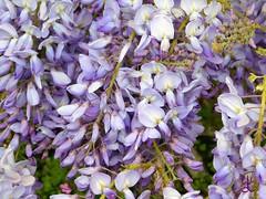 Wisteria Greenway House (daniellewootton) Tags: wisteria greenwayhouse agathachristie riverdart garden macro flower