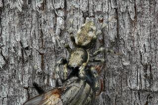Springspinne Salticus sp., evtl. zebraneus - Männchen mit Beute