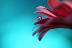 The essential thing (Marilena Fattore) Tags: macro tamron90mm canon650d colors water waterdrops droplet nature fantasy closeup focus petals reflection pink lightblue daisy gerbera flores flower garden background shadow macrophotography onlyflowers