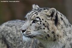 Snowleopard - Zoo Koln (Mandenno photography) Tags: dierenpark dierentuin dieren duitsland animal animals germany snow leopard snowleopard koln kolnerzoo zoo