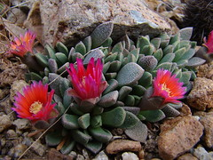 Aloinopsis spathulata hybrid 'High Noon' DSC09100 (sierrarainshadow) Tags: aloinopsis spathulata hybrid high noon