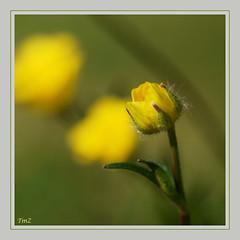 Eclosion !! (thierrymazel) Tags: bouton or fleurs flowers blossoms bokeh printemps spring nature jardin profondeur champ pdc dof cadre bordure macro