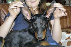 Hübsche Dobermann-Hündin (borntobewild1946) Tags: hund dog copyrightbyberndloosborntobewild1946 dobermannhündin femaledog dobermann