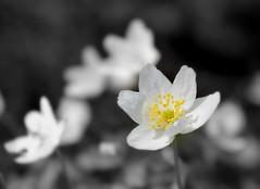 A little yellow (Gotland girl) Tags: wildflower flower yellow countryside gotland sweden vitsippa