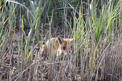 Can you see me? (roger_forster) Tags: fox vulpesvulpes young reeds alver river gosport hampshire hiding wild animal mammal