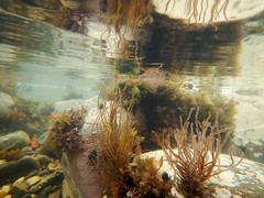 I Like To Be .. Under The Sea (steve_whitmarsh) Tags: underwater water sea seaweed rocks coast reflection cullen moray scotland