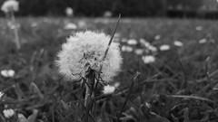 115/365 : Just dande (fmgbain) Tags: dandelion blackandwhite bw samsung s6edge 169 365 grass