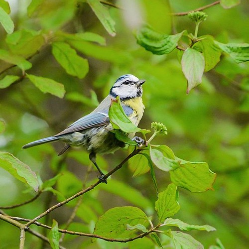#Blaumeise #diepoldsau #alterrhein #outdoor #spring #nature #animals #bird #cyanistescaeruleus #bluetit