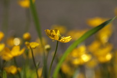 to steal the gold (jenny downing) Tags: blur green grass yellow gold golden petals shiny open bokeh meadow sunny butter stems wildflowers sunlit delicate buttery buttercups jennypics jennydowning photobyjenn