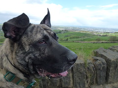 (The Chairman 8) Tags: dog fur canine brindle hooch alsationcross scarletheights