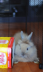 wedged (Jason Scheier) Tags: pets cute bunny animal hair fur furry soft fluffy reflect creatures creature lionshead lionhead rabiit