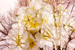Mixed (jajadiekatja) Tags: flower tree nature photoshop landscape nikon doubleexposure incamera cs6 d5200