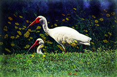 Two Ibis (hollykl) Tags: photomanipulation digitalart ibis whiteibis winterparkfl wardpark arteffects sharingart awardtree