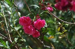 Agua Caliente Park (debbkayAZ) Tags: park flower agua tucson oleander caliente aguacalientepark