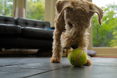 29th May - Ball (Bond Girly) Tags: dog pet kitchen ball floor obsession tennis terrier chase zippy obsessed lakelandterrier