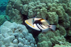 triggered (BarryFackler) Tags: ocean life sea fish nature water ecology animal coral fauna island hawaii polynesia
