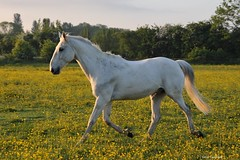 Ted (PhotoCet) Tags: horses horse ted caballo cheval grey gray cavallo pferd trot buttercups trotting hestur photocet