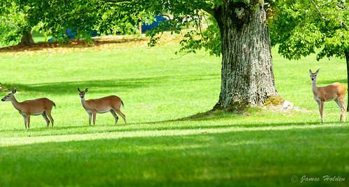 3 deer at Berry in the shade