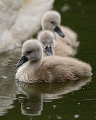 Close to mum (Rivertay07 more off than off) Tags: swan rivertay cygnets leavalley leevalley cygnusolor copyrightprotected fishersgreen richardstead