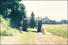 Sunday Ride (Phil Roussin PBR Photos) Tags: summer dog tractor hot field creek lab ride diesel farm country farming pitbull dirt hay soybeans johndeer 4010 festus jeffersoncounty borderfx catholicphotographer biggreentractor philroussin wwwpbrphotoscom