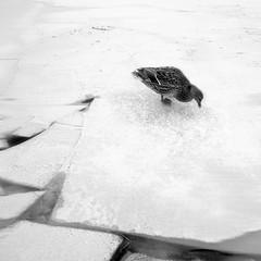 Anpassning 05 (Jaqueline Vanek) Tags: schnee winter sky white snow black cold bird art blanco ice contrast landscape sweden nieve negro fine paisaje cielo series invierno concept pajaro frio hielo suecia jaqueline svenska vanek anpassning