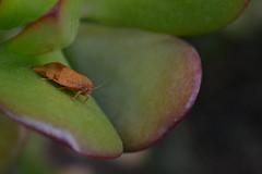 Mariposilla en la Crassula (esta_ahi) Tags: barcelona espaa insectos fauna spain flora plantas moth lepidoptera crassulaceae crassula ovata polilla crasas crassulaovata tortricidae  vilafrancadelpeneds cultivadas