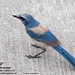 "bird-scrubjay-insect-<br /><span style=""font-size:0.8em;"">Scrub Jay with insect.  The Scrubjay is a threatened specie and lives only in parts of Florida.<br />Taken in Brevard County, Florida</span> • <a style=""font-size:0.8em;"" href=""http://www.flickr.com/photos/18570447@N02/9234307810/"" target=""_blank"">View on Flickr</a>"
