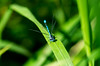 reload (Schub@) Tags: summer macro green nature dragonfly sommer natur grün makro libelle azur zygoptera azurblau coenagrion azurjungfer