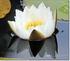 White waterlily (HJsfoto) Tags: flowers summer waterlily blommor hamptjrn