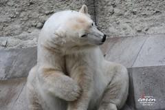 Eisbr Giovanna 2013_08_07 182 (caren (Thanks for 1 Million+ views)) Tags: polarbear ursusmaritimus eisbrengiovannayoghi tierparkhellabrunnzoomunich carenpolarbears polarbeargiovanna