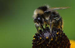 Hummel (deta k) Tags: macro berlin germany deutschland bumblebee insekten hummel nikond7100
