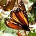 Angangueo - Mariposas Monarcas