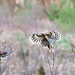 1st Place - Altered/Composite - Linda Martin - Barred Owl Pano