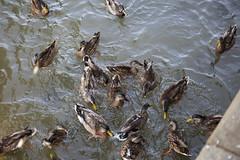 Ducks (Fat Bastard_) Tags: river kentucky ducks louisville ohioriver