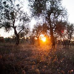 Olive grove sunset (photofalk) Tags: italien summer vacation italy slr nikon italia sommer urlaub tuscany toscana toskana travelphotography reisefotografie sanquiricodorcia