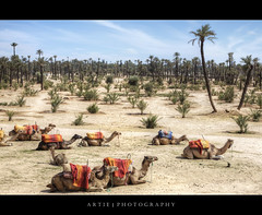 The Resting Camels in Marrakech, Morocco :: HDR (:: Artie | Photography :: Happy 2016 !) Tags: tree photoshop canon palms sand desert fisheye morocco tropical handheld marrakech marrakesh camels ef hdr f40 artie cs3 3xp photomatix 24105mm tonemapping tonemap 5dmarkii 5dm2