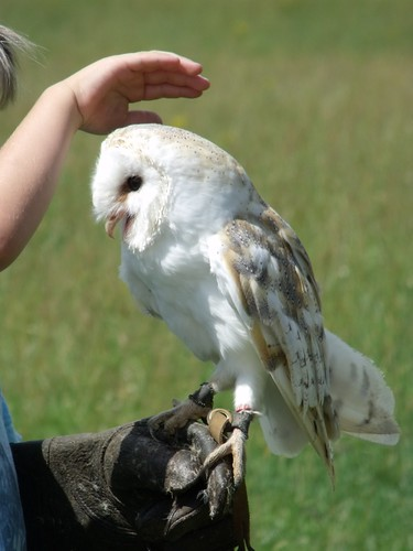 Smudge the Barn Owl
