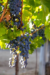 Lorgues (39 of 51).jpg (seethethingis) Tags: field canon eos is vineyard vines holidays europe dof grapes bunch usm provence grape depth efs lorgues 1585 60d 1585mm lrance