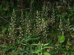 Ponthieva racemosa (Hairy Shadow-witch orchid) (jimf_29605) Tags: orchids southcarolina olympus wildflowers zuiko e5 zd charlestoncounty francismarionnationalforest berkeleycounty ponthievaracemosa 1260mm hairyshadowwitchorchid ponthieusorchid