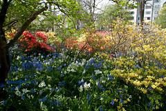 Very Pertty Sight (Jocey K) Tags: flowers trees newzealand christchurch colour bluebells spring azalea botanicgardens