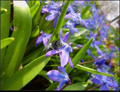 Gefhrdet... (Jasmin's Art) Tags: bee montage biene farbenspiel scillas