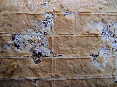 pores (Wendell Smith) Tags: turkeytail trametesversicolor mushroomcultivation coriolusversicolor yunzhi polyporusversicolor