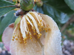 Frosty stamens (Ruth and Dave) Tags: pink flower macro ice weather yellow closeup vancouver frost crystals centre seawall stamens falsecreek granvilleisland camellia weatherphotography sutcliffepark