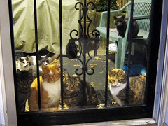 Dinnertime (Jimmy Legs) Tags: dinner backyard tnr backdoor feral eartip bushwickstreetcats
