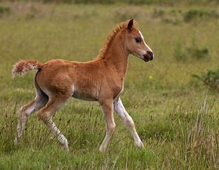 Foal on the moor