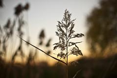 Riserva Aniene (Adriano Attolico) Tags: sunset orange plants plant nature yellow 35mm nikon bokeh ear d90