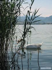 Cigno sul lago di Caldonazzo 1