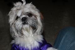Que eh?? (Jos Ramn de Lothlrien) Tags: dog pet hair jr perro littledog mascota perrito pelos shitsu producciones pelitos